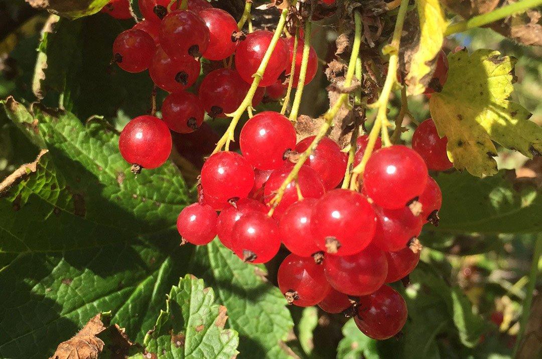 Vinbär – förmodligen världens bästa bär!